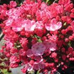 花木 庭木の苗/カルミア:オスボレッド5号ポット