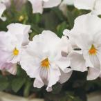 草花の苗/見元園芸のビオラ:ヴェルヴェール3.5号ポット