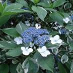 花木 庭木の苗/ガクアジサイ:斑入り根巻きまたは5号ポット