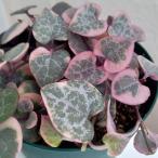 観葉植物/ハートカズラ(セロペギア・ウッディ):レディハート3号ポット