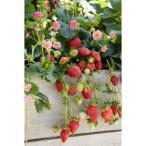 野菜の苗/イチゴ:四季なりいちご・かわいいピンク3号ポット 2株セット