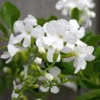 デュランタ:ホワイトラブ(白花・アルバ)4号鉢植え・ボサ仕立て