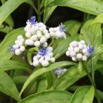 花木 庭木の苗/アジサイ(ディクロア):常山 細葉3.5号ポット