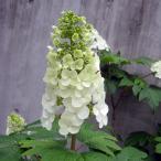 花木 庭木の苗/カシワバ(柏葉)アジサイ:スノークイーン(一重)樹高50cm根巻き