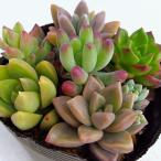Yahoo!園芸ネット観葉植物/多肉植物かわいい寄せ植え2.5号ポット 3ポットセット