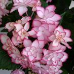 花木 庭木の苗/アジサイ:ひな祭り(ピンク)3.5号ポット