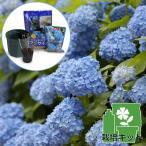 花木 庭木の苗/アジサイ(ハイドランジア):エンドレスサマーザオリジナル3.5号ポットと鉢と土と肥料のセット