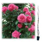 バラの苗/つるバラ:レオナルド ダ ビンチ大苗長尺6号ポット