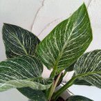 観葉植物/フィロデンドロン:バーキン3号ポット