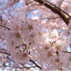 花木 庭木の苗/桜:江戸彼岸(エドヒガン)桜接木苗4〜5号ポット