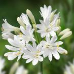 草花の苗/四季咲きアガパンサス:サマーラブホワイト6号ポット*