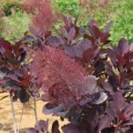 花木 庭木の苗/スモークツリー:ベルベットクローク3号ポット
