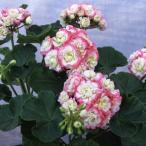 草花の苗 ゼラニウム キャンディーボール ピコティー3号ポット