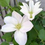クレマチス:白雪姫(しらゆきひめ)5号鉢植え