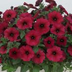 草花の苗/ペチュニア×カリブラコア:ビューティカルボルドー3.5号ポット
