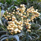 花木 庭木の苗/ナンテン(南天):白実 樹高70〜90cm根巻き