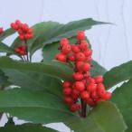 花木 庭木の苗/実付き 千両(センリョウ):赤実5号鉢植え