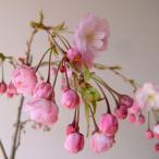 花木 庭木の苗/桜:雨情枝垂れ(ウジョウシダレ)接木苗4〜5号ポット