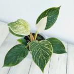 観葉植物/フィロデンドロン:バーキン4号