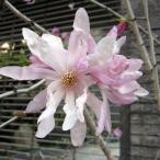 花木 庭木の苗/ヒメコブシ(シデコブシ):紅花ヒメコブシ樹高1.5m根巻き