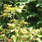 花木 庭木の苗/ナツハゼ株立ち根巻き樹高1〜1.2m