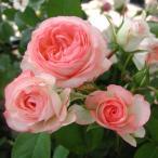 バラの苗/ポットローズ:ミニバラ・ホワイトピーチオベーション4号プラ鉢植え