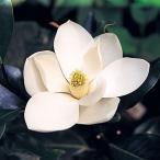 花木 庭木の苗/タイサンボク:リトルジェム8号ポット樹高1m