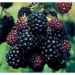 果樹の苗/木いちご(キイチゴ):ブラックベリー ジャンボ3〜3.5号ポット