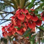 花木 庭木の苗/ギフトに アメリカデイゴ3.5号ポット