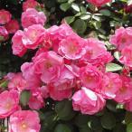バラの苗/つるバラ:アンジェラ大苗