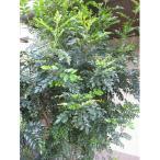 花木 庭木の苗/シマトネリコ株立ち7号ポット樹高70cm