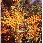果樹の苗/シーベリー(沙棘・サジー):アスコラ(メス木)3〜3.5号ポット