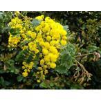 花木 庭木の苗/アカシア:香りの大輪スペクタビリス3〜3.5号ポット