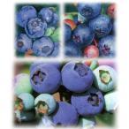 果樹の苗/ブルーベリー:ラビットアイ系5号3本セット