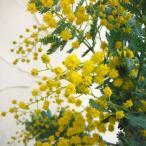 花木 庭木の苗/アカシア:ギンヨウアカシア6号ポット