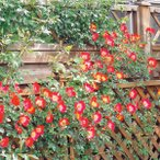 バラの苗/つるバラ:カクテル大苗