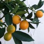 果樹の苗/キンカン:ニンポウ金柑4.5号ポット