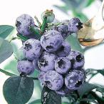 果樹の苗/ブルーベリー:ケープフェアー5号ポット
