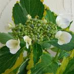 花木 庭木の苗/ガクアジサイ:レモンウェーブ3〜3.5号ポット