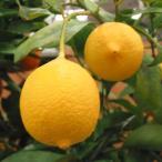 果樹の苗/レモン:リスボンレモン4〜5号ポット