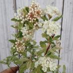 花木 庭木の苗/コデマリ:斑入りコデマリピンクアイス4.5号ポット