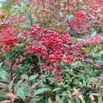 花木 庭木の苗/ナンテン(南天):赤実 樹高80〜100cm根巻きまたはルートバック