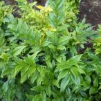花木 庭木の苗/サルココッカ:コンヒューサ 3.5号ポット