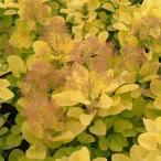 花木 庭木の苗/スモークツリー:ゴールデンスピリット樹高1.5m根巻き