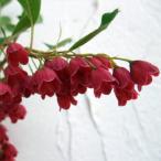 春の赤花・秋の紅葉 庭木に最適 花木の苗木