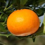 果樹の苗/2月上〜下旬収穫 とろけるような甘さで人気の柑橘・かんきつ類苗木 せとか4〜5号ポット