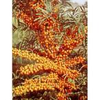 果樹の苗/シーベリー(沙棘・サジー):レイコラ(メス木)3〜3.5号ポット