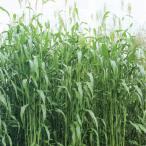 タネ 【まき時過ぎた為セール】ソルゴー:スダックス緑肥用1kg