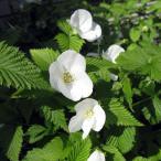 花木 庭木の苗/ヤマブキ(山吹) :白ヤマブキ(シロヤマブキ)3.5号ポット
