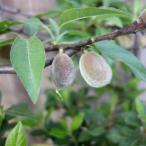 ホームフルーツの苗木